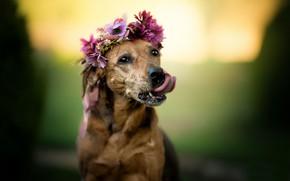Обои язык, морда, фон, собака, венок, портрет, цветы