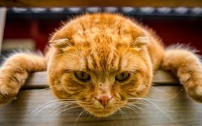 Обои лапы, рыжий кот, кот, морда, взгляд