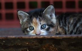 Картинка кошка, кот, взгляд, котенок, фон, маленький, малыш, мордочка, прятки, доска, котёнок, пестрый