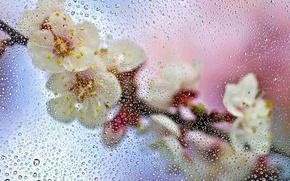 Картинка мокро, стекло, капли, макро, цветы, ветка, весна