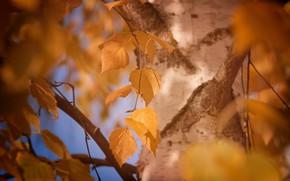 Картинка осень, листья, макро, жёлтый, дерево, листва, цвет, размытие, ствол, кора, берёза