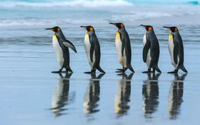 Картинка море, пляж, океан, стая, пингвины, прогулка, Императорский пингвин