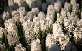 Картинка цветы, природа, цветение, Гиацинты