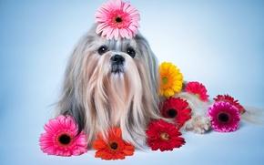 Картинка цветы, собака, герберы, Dogs, ши-тцу, Gerberas