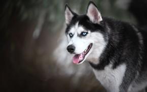 Картинка морда, собака, боке, Хаски