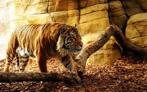Картинка nature, tiger, beautiful, predator, beauty, animal, fang, leaf, wild, konoha, dangerous, tora