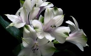 Картинка макро, альстромерия, перуанская лилия