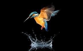 Обои bird, water, hummingbird