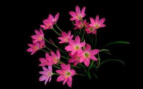 Картинка фон, растение, лепестки, Зефирантес