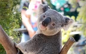Картинка tree, Australia, pose, Koala