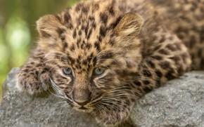 Картинка леопард, детёныш, котёнок, мордашка