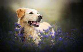 Картинка цветы, собака, боке