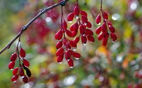 Картинка осень, капли, макро, ягоды, красота, ветка, плоды, множество, дача, подвески, барбарис