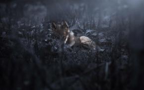 Картинка ночь, природа, волк