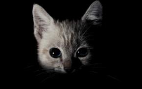 Картинка кошка, кот, взгляд, темнота, котенок, портрет, черный фон, котёнок, голубые глаза, мордашка, кошачий гипноз, зырит …