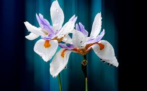 Картинка капли, цветы, лепестки, ирис