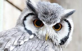 Обои глаза, сова, перья, клюв