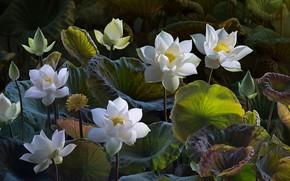 Обои бутоны, лотос, лотосы, листья, белые, композиция, обработка, природа, арт, цветы