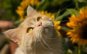 Обои усы, взгляд, мордочка, рыжий кот, кот