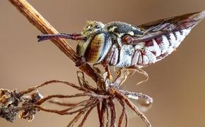 Картинка глаза, макро, пчела, фон, растение, шерстка, насекомое, брюшко, род пчёл, целиоксис