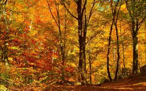 Картинка Осень, Деревья, Лес, Fall, Листва, Autumn, Forest, Trees, Листопад, Leaves
