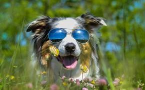 Картинка язык, лето, отдых, поляна, собака, очки, клевер, ярко, солнечно, солнечные, темные, кайф, австралийская овчарка, портерт, …