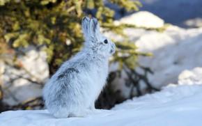 Обои зима, снег, заяц, Аляска