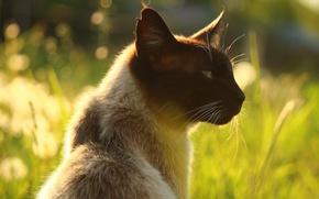 Картинка кошка, лето, трава, кот, морда, свет, природа, фон, портрет, профиль, уши, боке, сиамский, сиамская