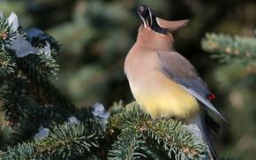 Картинка зима, снег, ветки, природа, фон, птица, ель, ягода, птичка, хвоя, яркое оперение, хохолок, свиристель, трапеза, ...