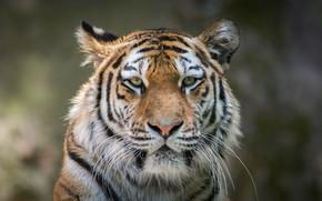 Обои дикая кошка, тигр, морда, взгляд, портрет