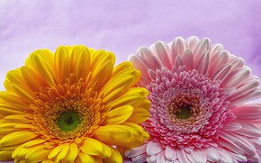 Картинка Цветы, Пара, Герберы