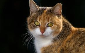 Обои фон, мордочка, кошка, взгляд, портрет