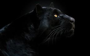 Картинка взгляд, морда, пантера, чёрный фон, тёмный фон