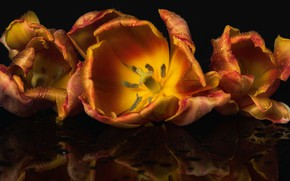 Картинка капли, макро, цветы, отражение, сияние, темный фон, лепестки, тюльпаны, оранжевые, золотистые