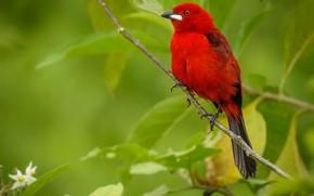 Обои птица, ветка, Бразильская расписная танагра, Танагра