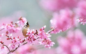 Картинка розовый, птица, сакура, синица, хохолок