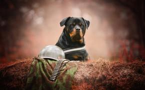 Обои собака, взгляд, портрет, патроны, каска, морда, боке, вояка, Ротвейлер
