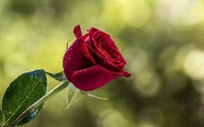 Картинка цветок, капли, роза, бутон