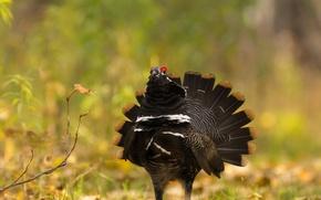 Картинка природа, птица, перья, хвост, тетерев