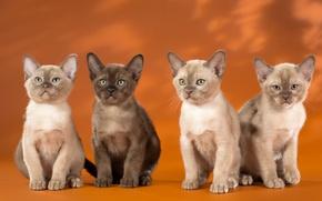 Обои квартет, бурманская кошка, котята, бурма