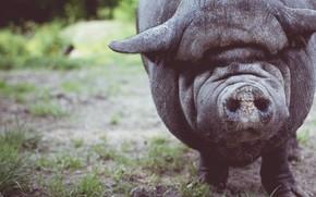 Картинка лес, животные, трава, свинья, grass, forest, animals, хрюша, pig, boar, хряк