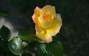 Картинка Роза, Rose, Yellow rose, Жёлтая роза