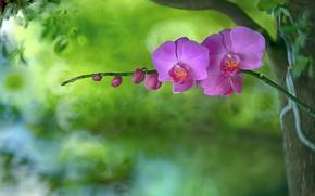 Обои орхидея, фон, лепестки