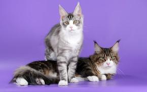 Картинка коты, уши, порода, мейн-кун