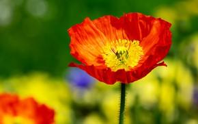 Картинка цветы, яркий, красный, зеленый, фон, природа, цветок, боке, лепестки, один, мак, оранжевый, лето, желтый, весна