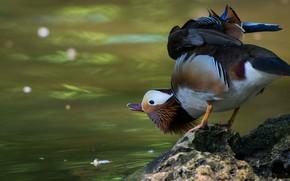 Картинка вода, природа, поза, пруд, фон, птица, камень, крылья, утка, водоем, яркое оперение, мандаринка