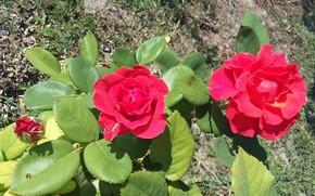 Картинка листья, цветы, лепестки, Розы, алые, оттенки, солнечный свет, август 2017