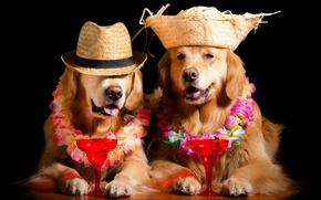 Картинка морда, цветы, вино, отдых, бокал, собака, шляпа, образ, черный фон, гирлянда, венок, фотосессия, пёс, ретривер, …