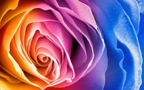 Обои роза, цветок, лепестки, радуга