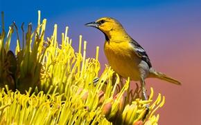 Картинка цветок, птица, клюв, хвост, цветной трупиал Баллока